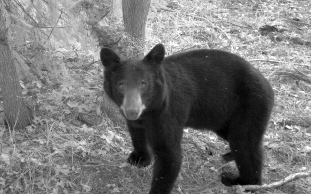 Seeking volunteers to help monitor wildlife cameras on Mt Hood