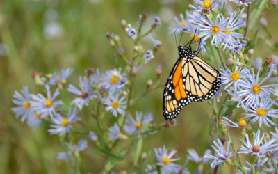 Monarch Butterflies: On the Brink of Extinction